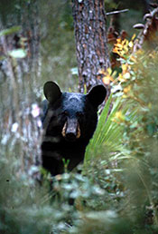 Bear_Peeking_Out_MarkCunningham_FWC[1]