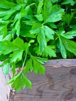 VEGETABLE parsley