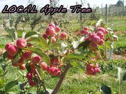 Apple-tree-2new