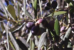 Olive-picture_2